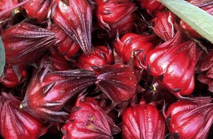 hibiscus-calyxes-taste-addition-to-edible-landscape